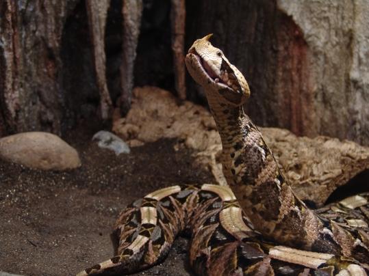 99-gabun-viper